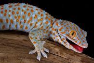 снимка на Гекон Токи (Gekko Gecko)