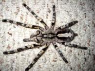 снимка на Poecilotheria fasciata