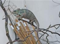 снимка на Пантеров хамелеон(furcifer pardalis)