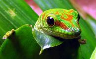 снимка на Гигантския мадагаскарски дневен гекон