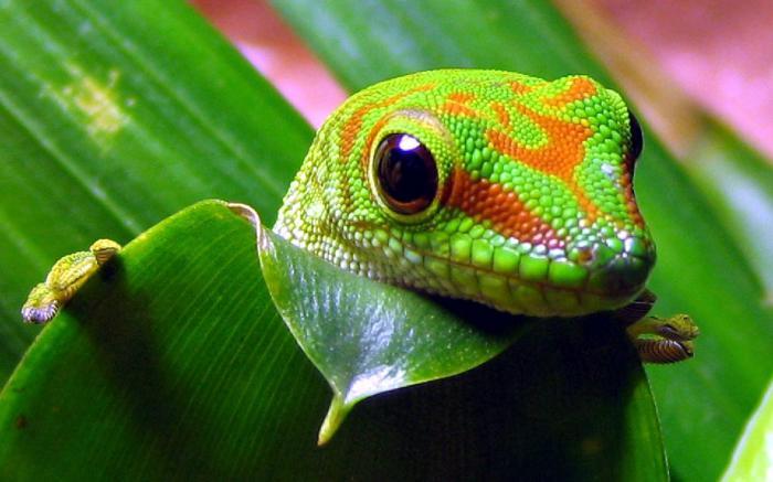 Гигантския мадагаскарски дневен гекон