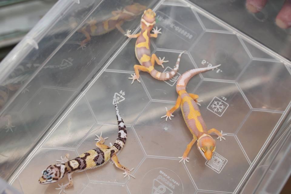 снимка на Леопардови гекони  бебета