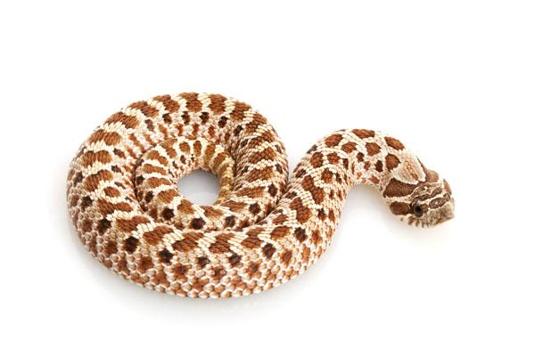 снимка на Западна свиненоса змия /Heterodon nasicus/